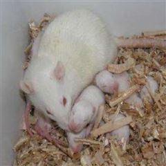 哺乳期大鼠饲养实验