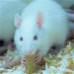大鼠钳夹实验实验检测