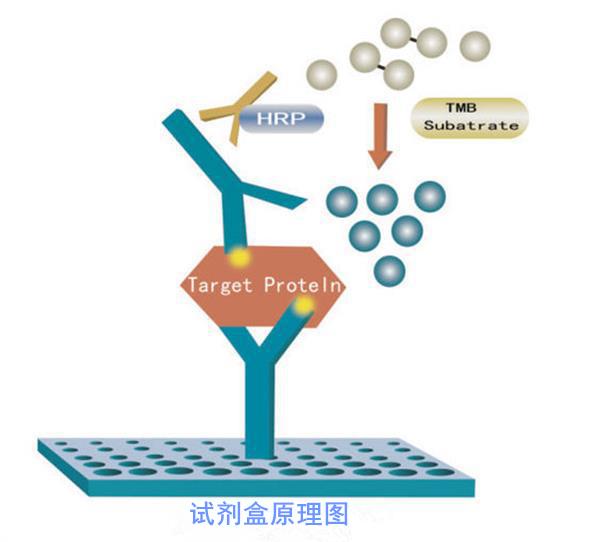 人血管抑素/血管稳定蛋白ANGELISA试剂盒