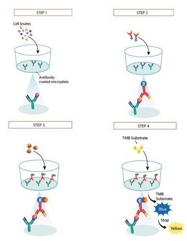 小鼠层连蛋白/板层素LNELISA试剂盒