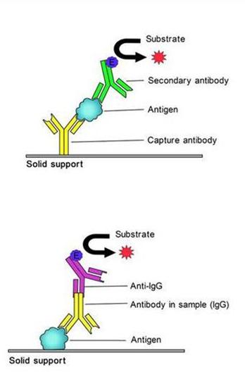 小鼠抗肌内膜抗体IgAEMA IgAELISA试剂盒
